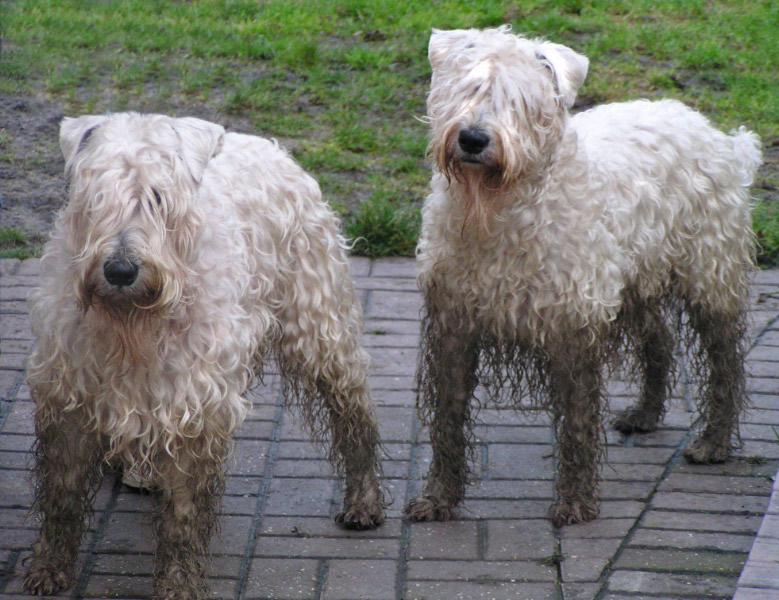 Information On The Soft Coated Wheaten Terrier